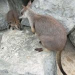 Proserpine rock wallaby.