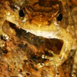 The endangered Eungella Day Frog, Taudactylus eungellensis.