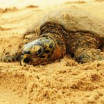 A sea turtle, they are all listed as vulnerable.