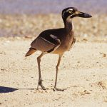 Beach Stone Curlew.